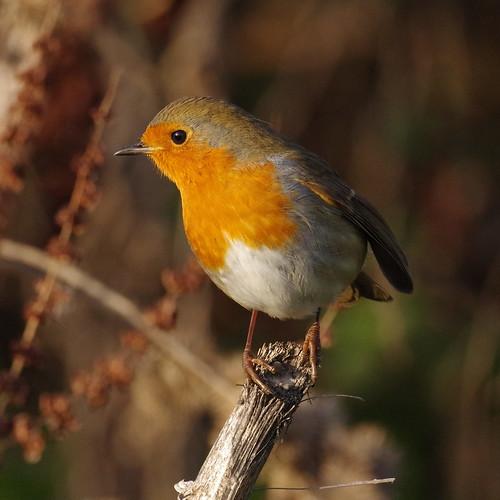 IMGP2356 Robin, Fen Drayton Lakes, December 2016