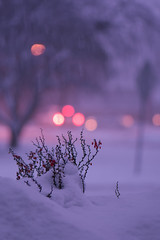 Sunday Snowfall (Dane Vandeputte) Tags: nikon d7200 nikond7200 nikonafsvrmicronikkor105mmf28gifed snow winter evening bokeh gentle soft purple car cars lights tree barberry challengegamewinner flickrchallengegroup flickrchallengewinner f32 105mm