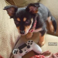 Lola (misslalovely) Tags: dog pomchi ps4 nikond3300 nikon fotobyz animals animal dogs