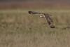 R17_7226 (ronald groenendijk) Tags: cronaldgroenendijk 2017 asioflammeus rgflickrrg animal bird birds birdsofprey groenendijk nature natuur natuurfotografie outdoor owl owls ronaldgroenendijk roofvogels shortearedowl velduil vogel wildlife