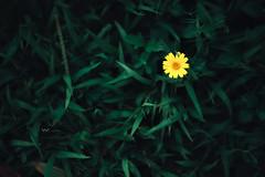 chrysanthemum (Wi 視覺) Tags: flower chrysanthemum taiwan beautiful grass