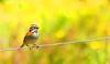 IMG_4029 Hot summer day with a bird (Explore) (Rodolfo Frino) Tags: dof animal fauna bird chingolo wire yellow flowers yellowflowers blur bright day natural nature natur naturaleza