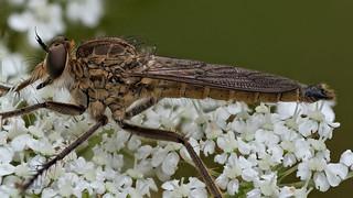 Raubfliege (Asilidae) auf einer Doldenblüte