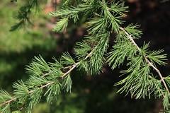 Larix laricina-09 (The Tree Library (TreeLib.ca)) Tags: tamarack larixlaricina