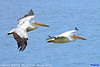 (Species# 941a) Adult Great White Pelicans  -  [ Strandfontein Water Work, Cape Town, S.Africa ] (tinyfishy's World Birds-In-Flight) Tags: pelecanus onocrotalus white great pelican rosy