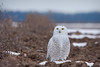 Snowy Owl (Nick Scobel) Tags: blurred highquality snowy owl bubo scandiacus michigan snow winter cold white christmas farmland pasture irruption migration bird arctic