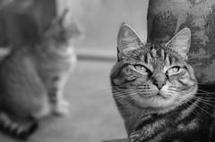 Two Thinking Cats (M J Adamson) Tags: sweetpea cats pets mono blackwhitephotography nz newzealand