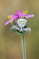 Dans l'attente d'une visite (Piotr Jaworski) Tags: araignée spider pajak macro makro pitrus canon 60d sigma 15028 natural light lumière naturelle swiatlo naturalne
