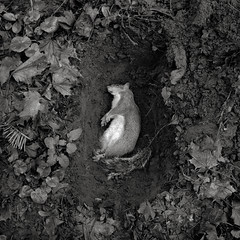 Squirrel, Brentwood Street, Portland (austin granger) Tags: squirrel portland death grave backyard earth dirt accident hole ceremony square film gf670