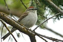 Early Risers Are More Chipper In The Morning (ebirdman) Tags: chippingsparrow spizellapasserina chipping sparrow spizella passerina