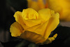 DSC_6172 Yellow Rose (PeaTJay) Tags: nikond300s sigma reading lowerearley berkshire gardens indoors nature flora fauna plants flowers rose roses rosebuds