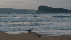 Seascape contemplating the waves (Merrillie) Tags: uminabeach sand sunrise gull nature australia mountains nswcentralcoast dawn newsouthwales sea silvergull nsw waves beach clouds centralcoastnsw umina seascape photography water oceanbeach waterscape seagull landscape sky outdoors