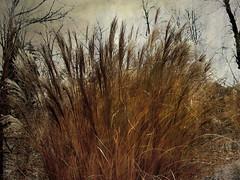 Winter Grasses (bethrosengard) Tags: bethrosengard photomanipulation digitallyenhanced photoart digitalmagic digitalart