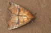 Scoliopteryx libatrix (henk.wallays) Tags: aaaa arthropoda falter henkwallays insect lepidoptera macromoths nature noctuidae owletmoth roesje schmetterlinge scoliopteryx scoliopteryxlibatrix vlinders closeup insecta insecte insekt lepidoptere macro nachtvlinder natuur papillondenuit skubvlerkiges uilen wildlife лускакрылыя тәңкәҡанатлылар күбәләктәр матылі