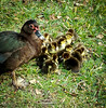 Muscovy Duck family . . . (Dr. Farnsworth) Tags: muscovy duck ducks chicks mother cute mottled white black scourge florida fl winter january2017