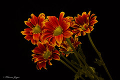 Orange Mums 1014 Copyrighted (Tjerger) Tags: nature beautiful beauty black blackbackground bloom blooming blooms bunch closeup fall flora floral flower flowers green group macro mum orange petals plant portrait stems wisconsin yellow mums natural