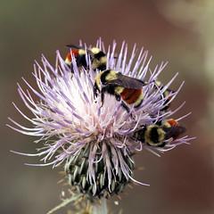 Hunt's bumblebees (Jeff Mitton) Tags: bee bumblebee bombusnuntii thistle rattlesnakecanyon mcinniscanyonsnationalrecreationarea colorado pollination earthnaturelife wondersofnature