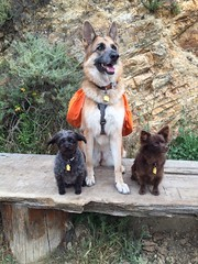 Trail Buddies!! (Karen Andrea Photography) Tags: california pets dogs nature animals zoe ginger outdoor hiking trails eastbay minnie germanshepherd bestfriends k9 dogwalking rescuedogs pomchi bestdogs eastbaytrails pomeranianchihuahuamix terrierpoodlemix kanerphotography