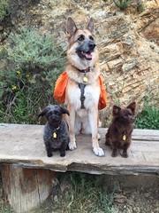 Trail Buddies!! (Karen Kaner Photography) Tags: california pets dogs nature animals zoe ginger outdoor hiking trails eastbay minnie germanshepherd bestfriends k9 dogwalking rescuedogs pomchi bestdogs eastbaytrails pomeranianchihuahuamix terrierpoodlemix kanerphotography