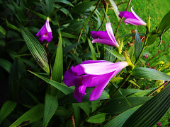 Sobralia macrantha (betadecay2000) Tags: orchid outdoor pflanze brasilien lila blau amerika blume blte bolivien mexiko orchide violett sobralia anggrek orqudea orchidea orkide botanik macrantha regenwald tropisch  sdamerika botanisch orkidea   orhidee epiphyt   orhideja orkideo orchidej      orchieen   terristisch