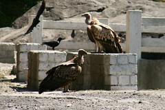 vultures, crow, kite