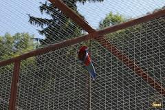 23.  Pennant parrot / Попугай Пинант