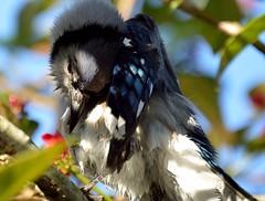 Spa Moment (ACEZandEIGHTZ) Tags: bluejay bath dryingoff bird birdwatcher nikon d3200