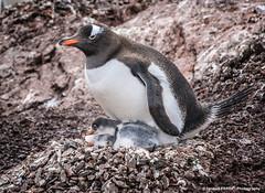 Gentoo penguin nest (Ignacio Ferre) Tags: bird penguin nikon nest antarctica ave nido pingüino antártida gentoopenguin pygoscelispapua pingüinopapúa pingüinojuanito