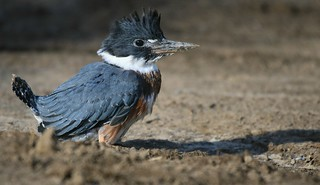 Belted Kingfisher Fledgling