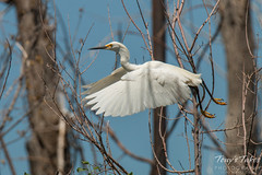 Snowy Egret launch sequence - 3 of 5