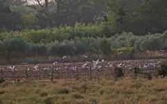 Mouette mélanocéphale et goéland leucophée - IMG_6280 (6franc6) Tags: 30 rando juillet languedoc gard balade 2015 petitecamargue vélo 6franc6