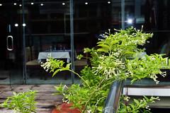 হাছনা-হেনা (Hasna Hena) / Night Blooming Jessamine / Cestrum Nocturnum (MH Photograaphy) Tags: greenery beautiful gargen hossain mahmud sm prince terrace white d3200 nikon photography learning practice flower nature nice hena hasna jessamine blooming night nocturnum cestrum garden outdoor