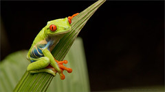 Red-eyed Tree Frog (Raymond J Barlow) Tags: travel red nature costarica ngc frog npc workshop eyed treefrog phototour raymondbarlow