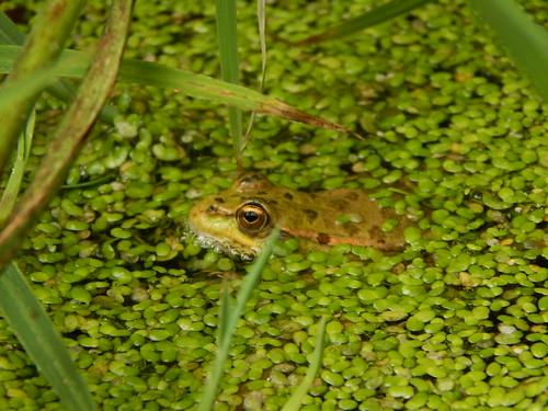 Frog - Khodzhokhskaya Tesnina, Russia, Adygeya