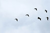 Birds (Kovács Anna) Tags: eigg birds wildlife fly flying wings air freedom scottland scottish