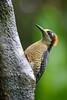 Red-crowned Woodpecker Seeking Shelter from the Rain (jeff_a_goldberg) Tags: laquintadesarapiqui sarapiqui winter costarica woodpecker naturalhabitatadventures nathab redcrownedwoodpecker melanerpesrubricapillus heredia cr