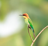 Chestnut Headed Bee eater (Enticing Dreams) Tags: bird chestnutheadedbeeeater beeeater trivandrum kerala