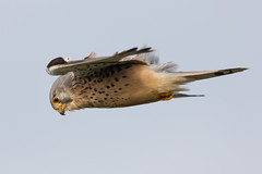KIF (Mr F1) Tags: kestrel kif bif birdsinflight kestrelinflight johnfanning flying hover detail eyes feathers closeup
