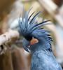 palm cockatoo (kampang) Tags: palmcockatoo proboscigeraterrimus kunmingzoo goliathcockatoo greatblackcockatoo