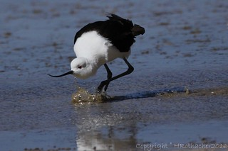 Avocette des Andes - Recurvirostra andina