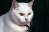Winter Cat (katjacarmel) Tags: gato winter snow white animals cats portrait kat dieren christmas closeup