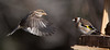 face à face (rachel.peillet) Tags: oiseau chardonneret animaux moineaudomestique oiseaux bird europeangoldfinch housesparrow flying envol