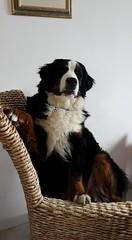 Cleo (Bianchi Francesca Photographer) Tags: seduta cleo quartina dog cane animali compagnia dolce simpatia gioia