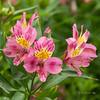 Alstromeria (idunbarreid) Tags: alstromeria pink doublefantasy