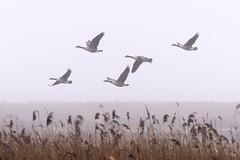Geese in the mist (365/366) (AdaMoorePhotography) Tags: nikon d7200 366 nature natural wild wildlife