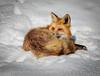 Fox, soon to sleep. (eddm1962) Tags: fox sleepingfox foxinsnow winter foxinwinter yellowstone yellowstonenationalpark ynp foxinyellowstonenationalpark