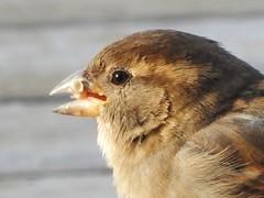 House Sparrow (starmist1) Tags: sparrow housesparrow deck backyard winter snow cold bird portrait