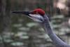 My Sweet Monet... (Kenziu Garcia) Tags: sandhill crane