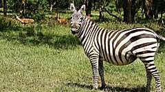 Burchell's zebra (in foal) (rogersmithpix) Tags: kenya africa wildlifesafari wildlife safari sonya900 africanwildlife kenyawildlife burchellszebra commonzebra lakenakuru equusquagga