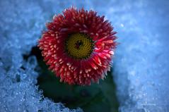 Uyanış (Celalettin Güneş) Tags: yellow flowers red winter spring cold beautiful white snow green kar pembe uyanış diriliş celalettingüneş